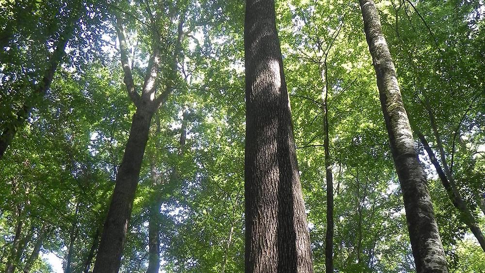 Chêne pilier