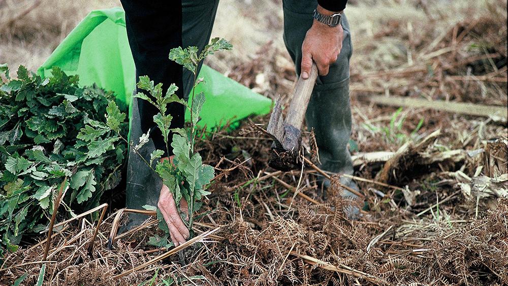 Plantation de plant de chêne - ©Claude PICHARD-ONF